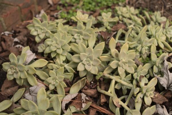 Ghost plant (Graptopetalum)