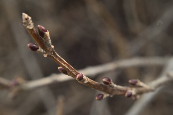 Forsythia buds