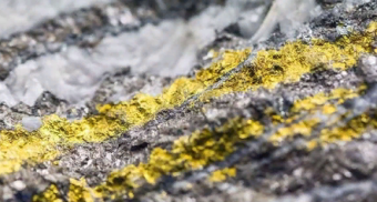 Australian fungi implicated in the extraction of gold
