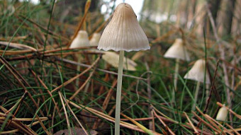 Mushrooms occurring in Europe - Mycena epipterygia