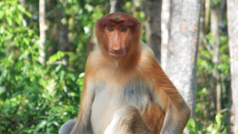 My journey through Asia, Borneo - Monkeys live in the wild - What are you talking about?