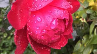 Photography: Last Rose of the Season