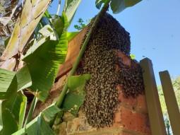 Mega Honey Bee Swarm Captured, Out Of Season!