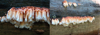 Mushrooms occurring in Europe - Pycnoporellus alboluteus