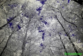 Ultraviolet and Infrared Photography - Tree Canopy on the trail at Sweetwater Creek