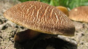 Mushrooms occurring in Europe - Boletus chrysenteron