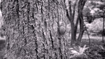 Snail on a tree trunk - Infrared Photography