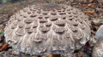 Mushrooms occurring in Europe - Macrolepiota procera or Lepiota procera