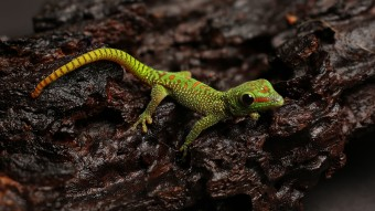 New Born MadagascarDay Gecko - Phelsuma Grandis