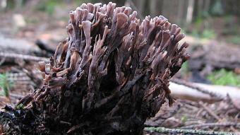 Mushrooms occurring in Europe -Thelephora palmata