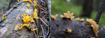 Mushrooms occurring in Europe - Calocera furcata