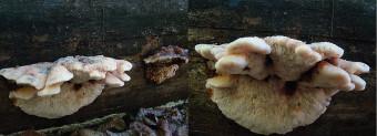 Mushrooms occurring in Europe - Amylocystis lapponica