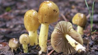 Mushrooms occurring in Europe - Bolbitius titubans var. titubans