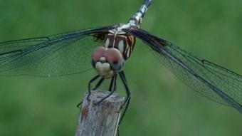 Dragonfly Macro #1