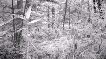 Bamboo Growing among the Ferns - Infrared Photography
