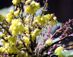 Honey Bees getting nectar and pollen from Leatherleaf Mahonia flowers Part 1