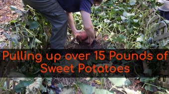 Harvesting Sweet Potatoes: Started with just one