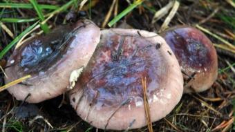 Mushrooms occurring in Europe - Russula turci