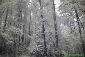 Ultraviolet and Infrared Photography - Ground cover and its upward growth