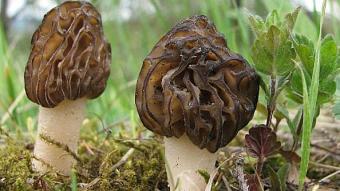 Mushrooms occurring in Europe - Mitrophora semilibera