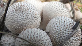 Mushrooms occurring in Europe - Lycoperdon perlatum