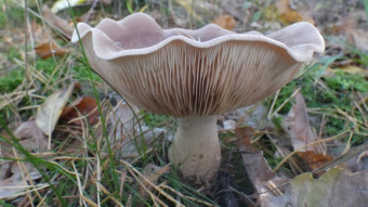 Mushrooms occurring in Europe - Lepista Nuda