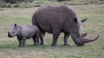 The Rhinos Of Ol Pajeta Conservancy, Kenya