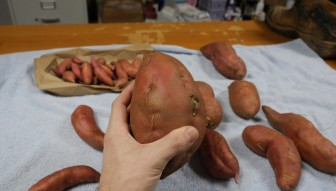 A closer look at the Sweet Potato harvest