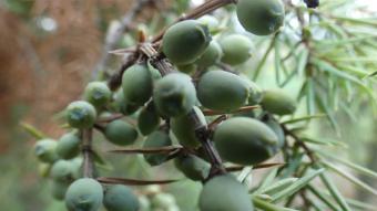 European nature - trees and shrubs - Juniper