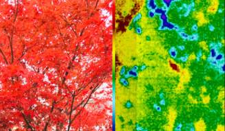 Japanese maple Splitscreen infrared