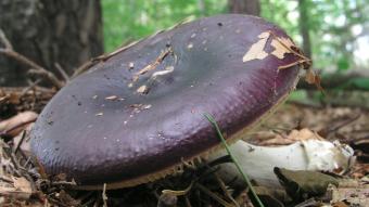 Mushrooms occurring in Europe - Russula caerulea