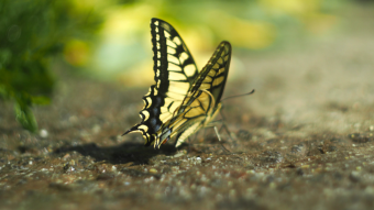 Beautiful butterfly Papilio machaon