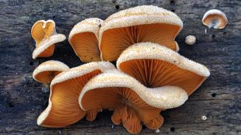 Mushrooms occurring in Europe - Phyllotopsis nidulans