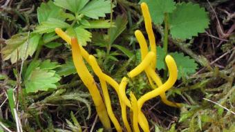 Mushrooms occurring in Europe - Clavulinopsis helvola