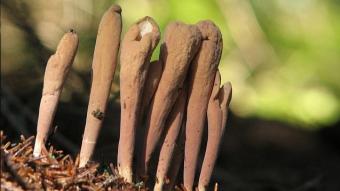 Mushrooms occurring in Europe - Clavariadelphus ligula