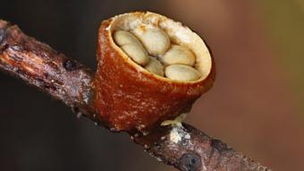 Mushrooms occurring in Europe - Crucibulum laeve