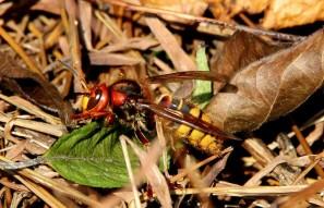 Found A European Hornet (Vespa crabro L.) On A Hike