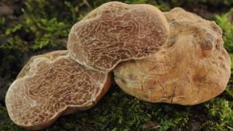 Mushrooms occurring in Europe - Tuber magnatum