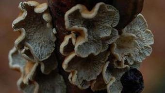 Mushrooms occurring in Europe - Plicaturopsis crispa
