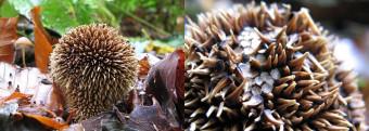 Mushrooms occurring in Europe - Lycoperdon echinatum