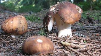 Mushrooms occurring in Europe - Russula mustelina