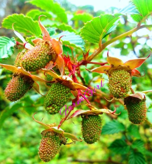 Unripe Wild Berries