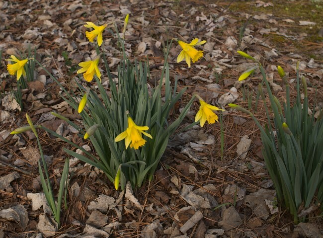 cluster of blooming daffodils