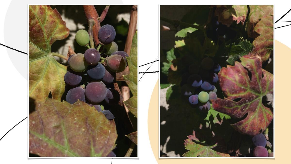 grapes_szbarnaus
