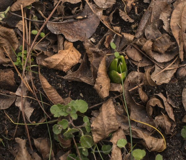 Hyacinth breaking through