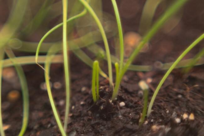 Macro photo of shallot seedlings