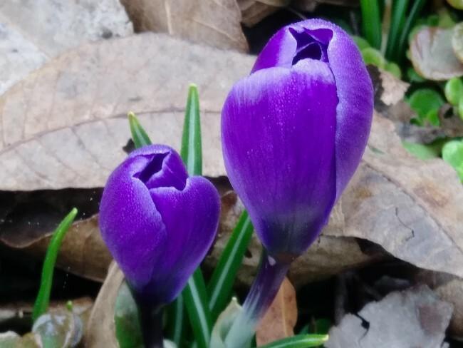 closes crocus flowers