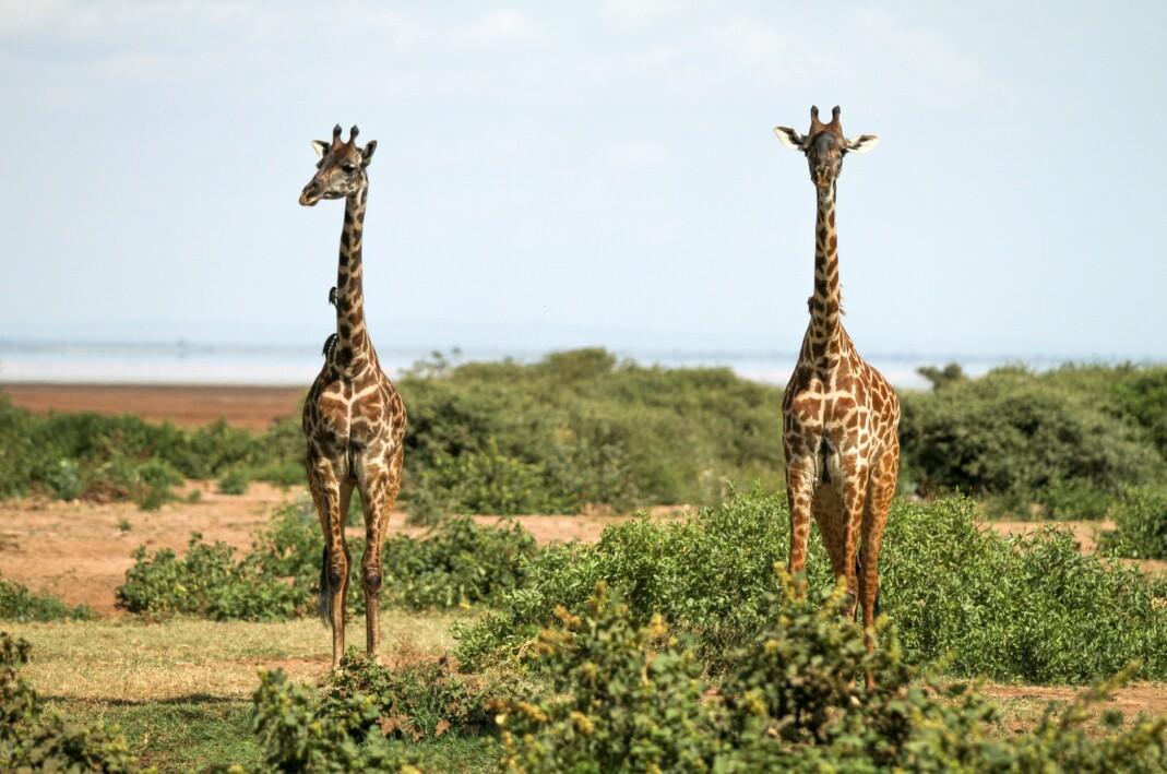 Pair of Giraffe in Tanzania