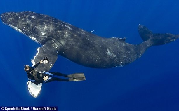 DailyMail UK Article Swimming w 50ft Hump Back Whale