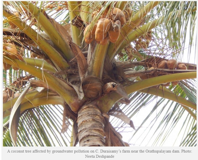Unhealthy yield of coconut - Tiruppur, India